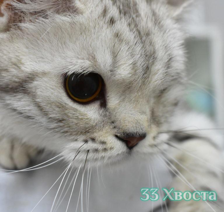 Кошка Нувейба