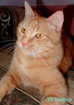 кошка мандаринка